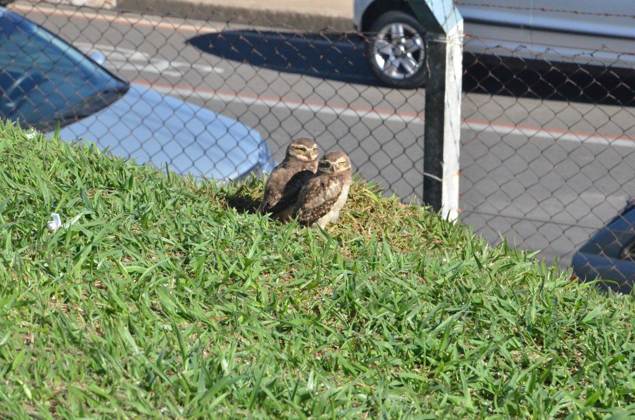 As corujas ainda observam a movimentação no campo e na rua (foto Gislaine Mathias)